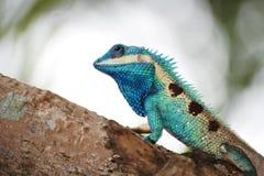 вал ящерицы тайский Стоковая Фотография