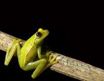 вал дождевого леса ночи лягушки зеленый смотря вверх Стоковая Фотография RF