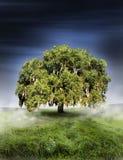 вал дуба Стоковая Фотография RF