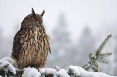 вал coniferous сыча орла евроазиатского сидя Стоковое фото RF