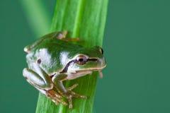 вал hyla лягушки arborea европейский Стоковые Фото