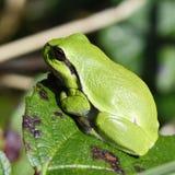 вал hyla лягушки arborea европейский Стоковое Фото