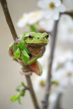 вал hylidae лягушки стоковые фотографии rf