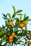 вал kumquat Стоковые Фото
