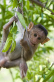 вал macaque Стоковые Изображения