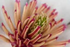вал magnolia цветка Стоковое Изображение
