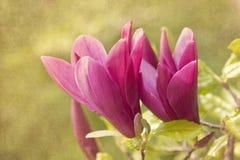 вал magnolia Стоковые Изображения