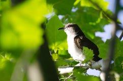 вал mockingbird северный Стоковое фото RF