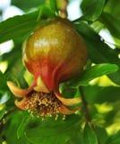 вал pomegranate Стоковое Изображение RF