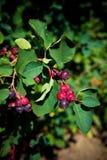 вал saskatoon ягоды Стоковое Фото
