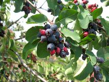 вал shadberry Стоковые Фотографии RF