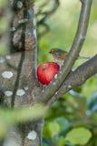 вал silvereye яблока Стоковая Фотография