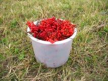 вал snowball ягод Стоковое Изображение