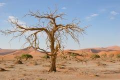 вал sossusvlei Намибии акации Стоковое Изображение RF
