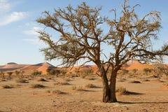 вал sossusvlei Намибии accacia Стоковая Фотография