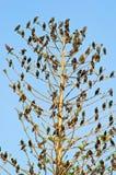 вал starlings Стоковое Фото