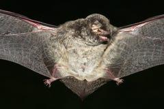 вампир летучей мыши Стоковое Изображение
