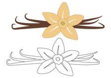 Ванильный цветок и стручки красочные и в белых и черных цветах Стоковое Фото
