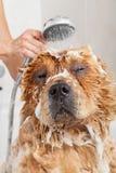 Ванная комната к чау-чау чау-чау собаки Стоковая Фотография