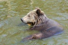 Ванна бурого медведя Стоковое фото RF