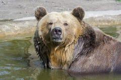 Ванна бурого медведя Стоковое Изображение
