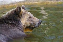 Ванна бурого медведя Стоковые Фотографии RF