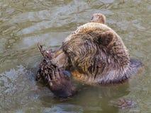 Ванна бурого медведя Стоковое Фото