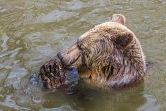 Ванна бурого медведя Стоковые Изображения RF