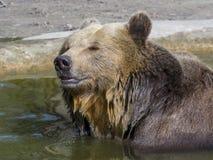 Ванна бурого медведя Стоковые Фото