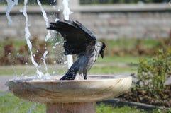 Ванна вороны Стоковое фото RF