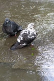 Ванна голубей Стоковое фото RF