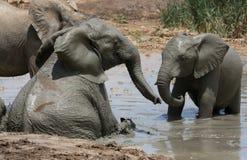 Ванна грязи слона Стоковое Изображение