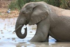 Ванна грязи слона Стоковое Фото
