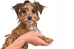 ванна получая мальтийсное yorkie щенка смешивания стоковая фотография