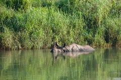Ванны Rino в воде в реке Стоковая Фотография