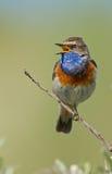 Варакушка петь Стоковые Фото