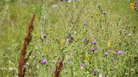 Варакушка пташки среди травы Стоковая Фотография