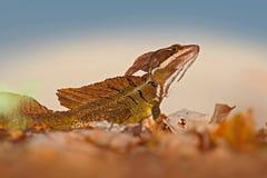 Василиск Брайна, vittatus василиска, в среду обитания природы Красивый портрет редкой ящерицы от Коста-Рика Василиск в gre стоковое изображение rf