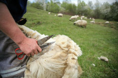 ватка вырезывания с овец стоковые фотографии rf