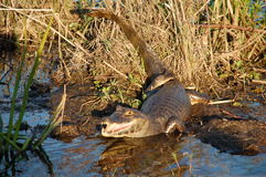 вахта аллигатора Стоковая Фотография