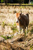 Вахта коровы Стоковое фото RF