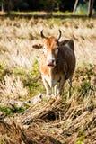 Вахта коровы Стоковое Изображение RF