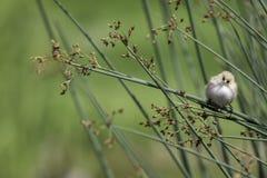 Вахта природы - бородатое Reedling Стоковое Изображение