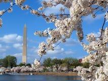 вашингтон вишни 2012 цветений Стоковое Изображение