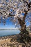 вашингтон dc вишни цветений Стоковая Фотография