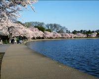 вашингтон dc вишни цветений Стоковые Фото