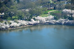 вашингтон dc вишни цветений Стоковые Изображения
