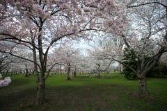 вашингтон dc вишни цветения Стоковое Изображение RF