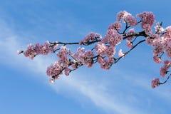 вашингтон dc вишни цветения Стоковая Фотография