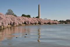 вашингтон dc вишни цветения Стоковая Фотография RF